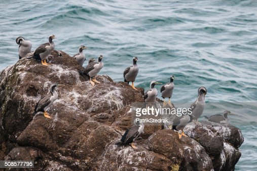 spotted shags colony : Stock Photo