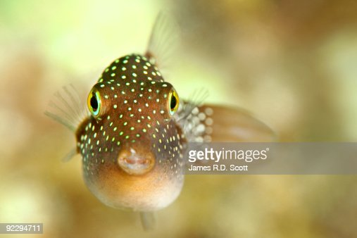Spotted sharpnose puffer fish stock photo getty images for Puffer fish images