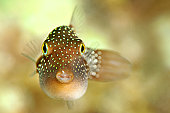 Spotted Sharpnose Puffer Fish