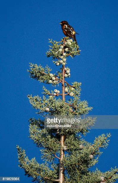 A spotted towee perches atop a tree in Santa Fe New Mexico