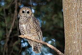 Spotted Wood Owl (Strix seloputo) in an old growth redwood forest; Big Sur, California, United States of America