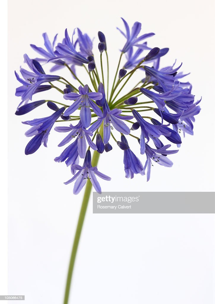 Spray of blue agapanthus flowers.