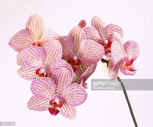 Spray of patterned orchid flowers.