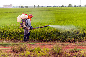 Farmer spray pesticides rice in the morning at the paddy field