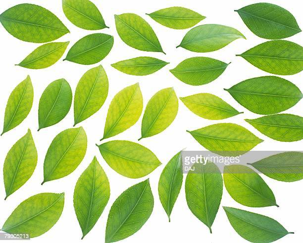 Spread Green Leaves, High Angle View, Close Up, Full Flame