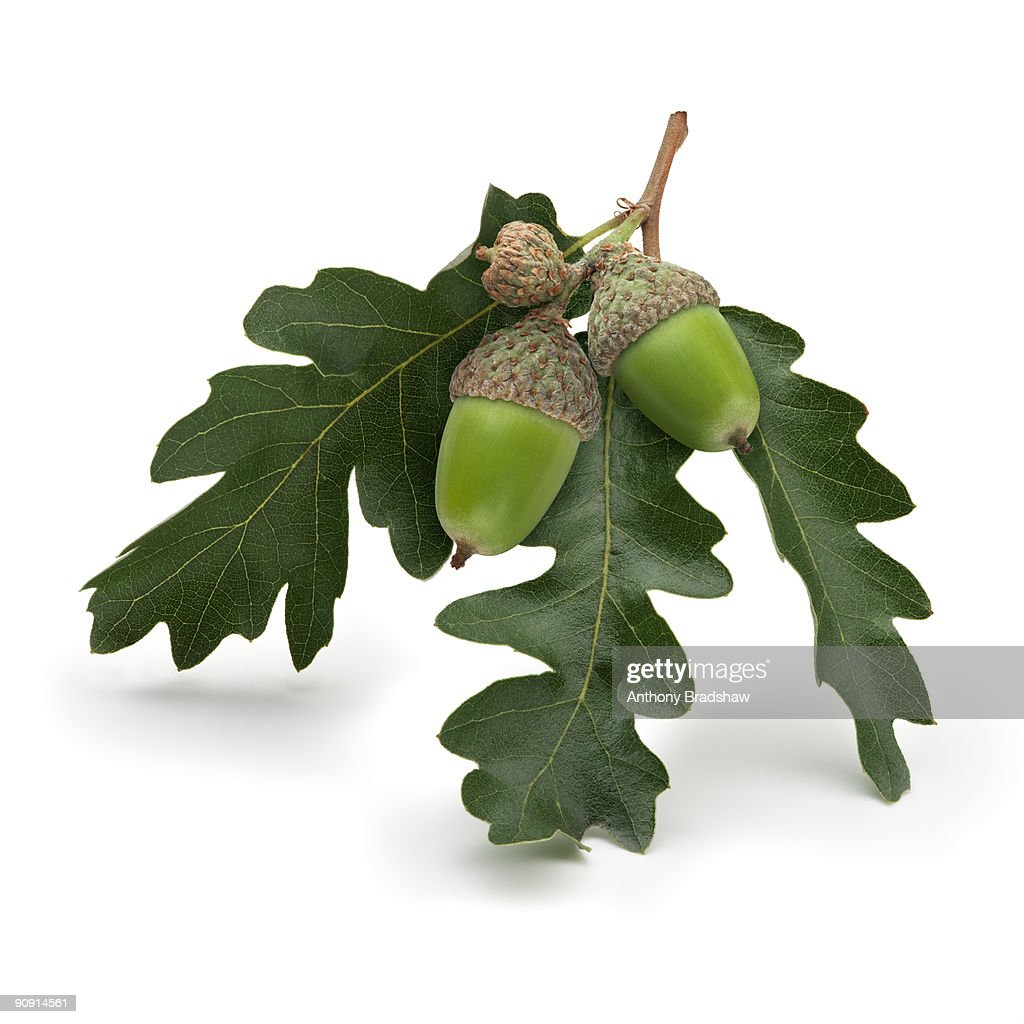 sprig of acorns and oak leaves stock photo getty images