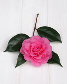 Sprig of camellia with pink flower & shiny leaves