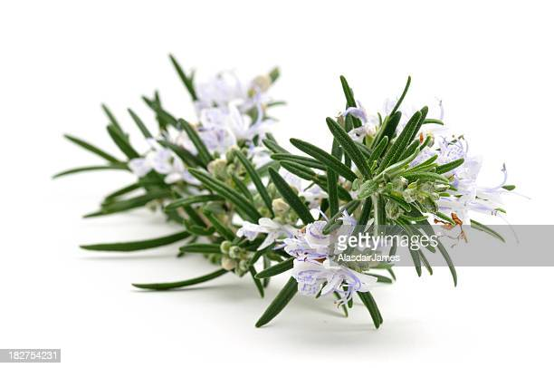 Sprig of flowering Rosemary