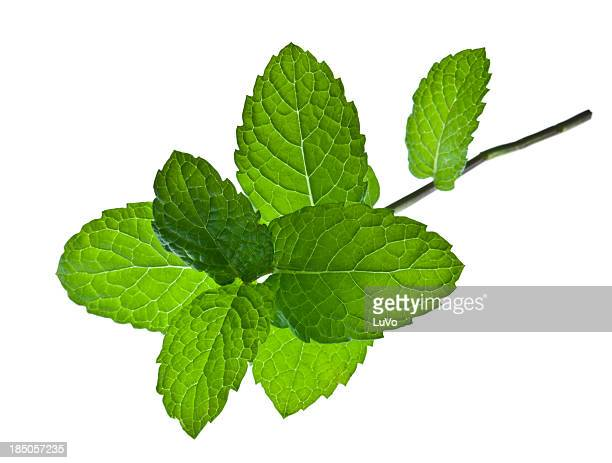 A sprig of mint leaves on a white background