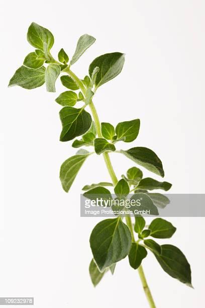 Sprig of oregano against white background, close-up