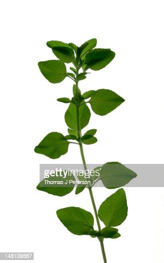 Sprig of oregano (Origanum vulgare)