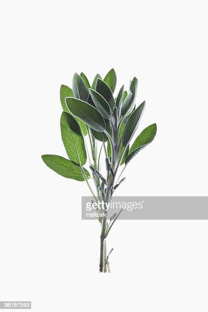 A sprig of organic sage on a lightbox