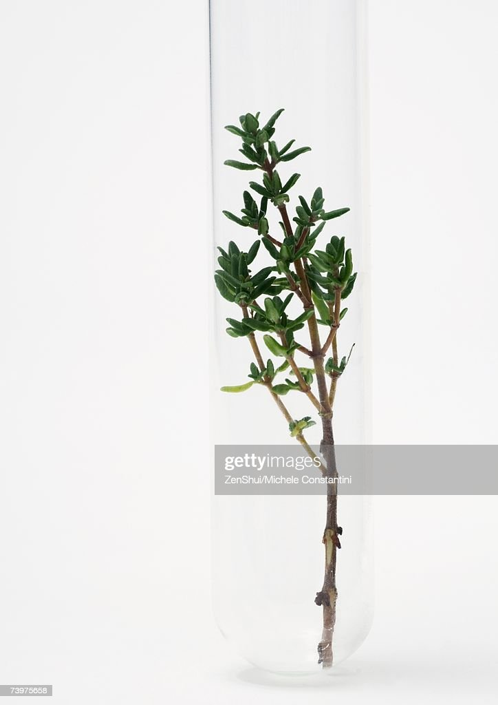 Sprig of thyme in test tube