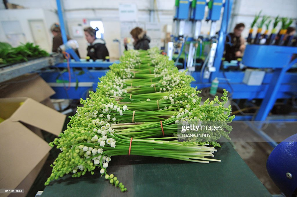 Sprigs of lily-of-the-valley are pictured at the Louis Douineau factory on April 22, 2013 in the western French city of Saint-Julien de Concelles, near Nantes.