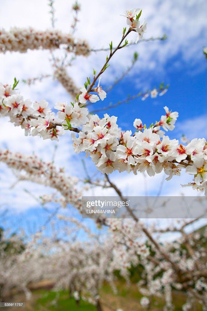 Primavera Flores de Amendoeira em Serra de Espadan Castellon : Foto de stock
