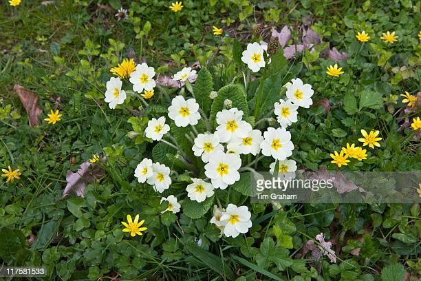 Spring and summer hedgerow wildflowers lesser celandine Primroses Primula vulgaris dandelions Salad Burdet in Cornwall