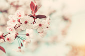 Spring background art with white cherry blossom. Beautiful nature scene with blooming tree and sun flare. Sunny day. Spring flowers. Beautiful orchard. Abstract blurred background. Shallow depth of fi