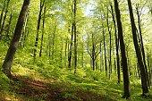 Spring beech forest.