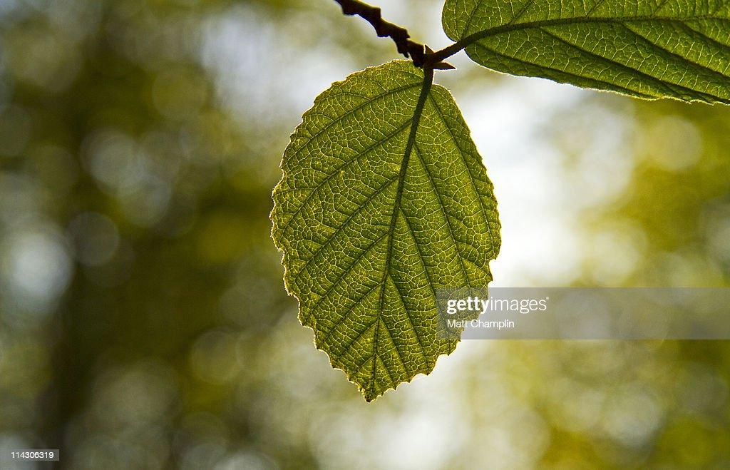 Spring beech leaf
