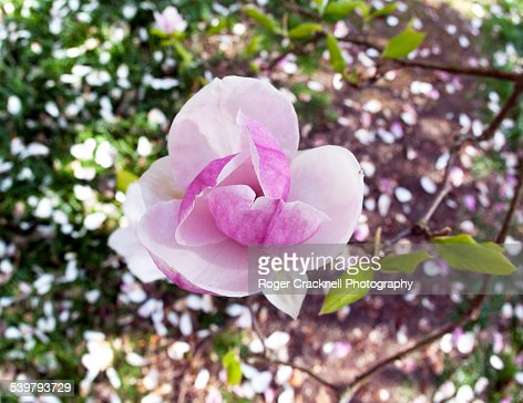 Spring Blossom Isabella Plantation Richmond Park