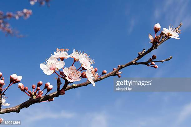 blossom de primavera