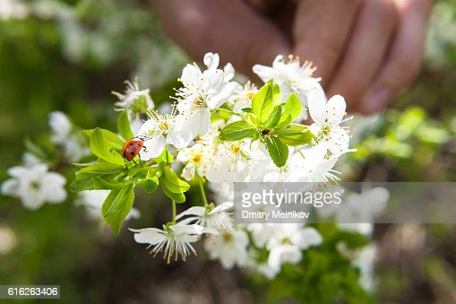 Spring blossoming of an apple-tree. : Stock Photo