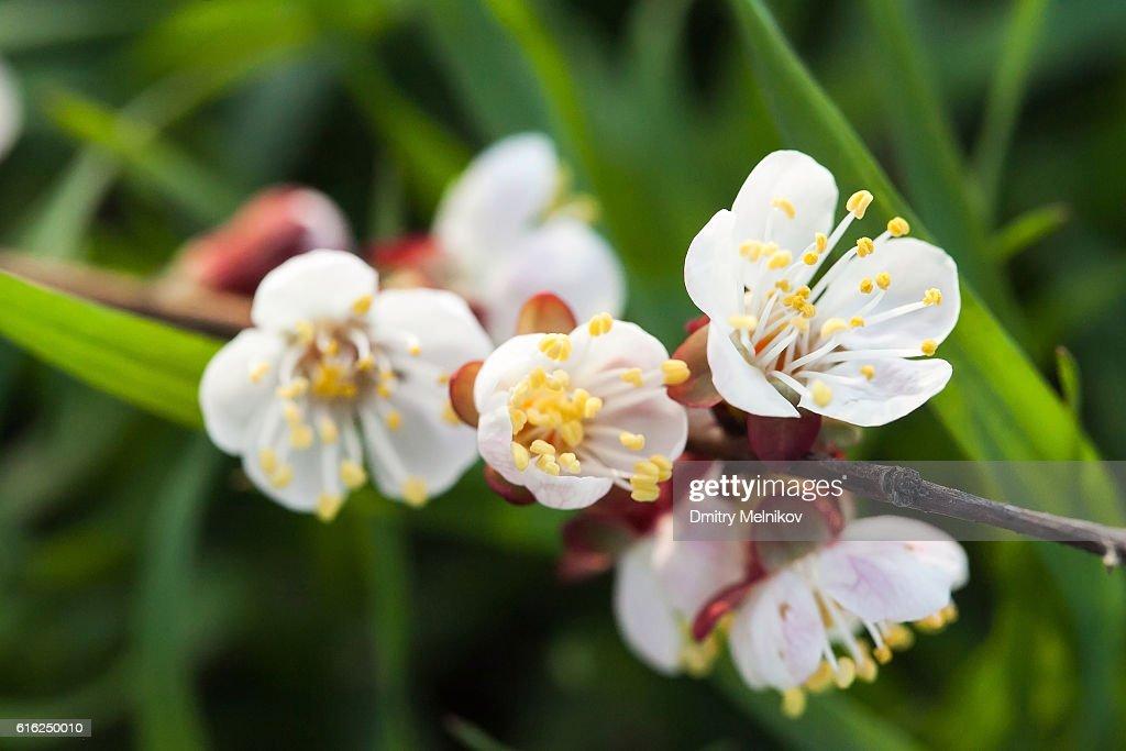 Primavera en flor de la cereza. : Foto de stock