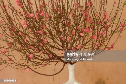 Spring blossoms, Hanoi, Vietnam : Stock Photo