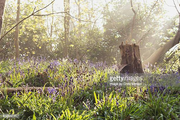 Spring bluebell dawn