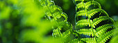banner spring bright green fern background shallow depth of field
