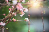 Spring buds with pink flowers against morning sun