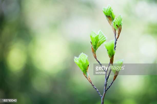 Frühjahr Knospen