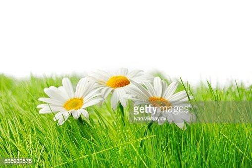 Spring chamomiles : Stock Photo