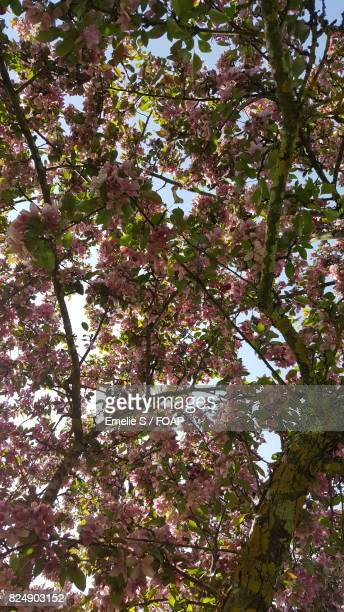 Spring cherry blossom pink flowers