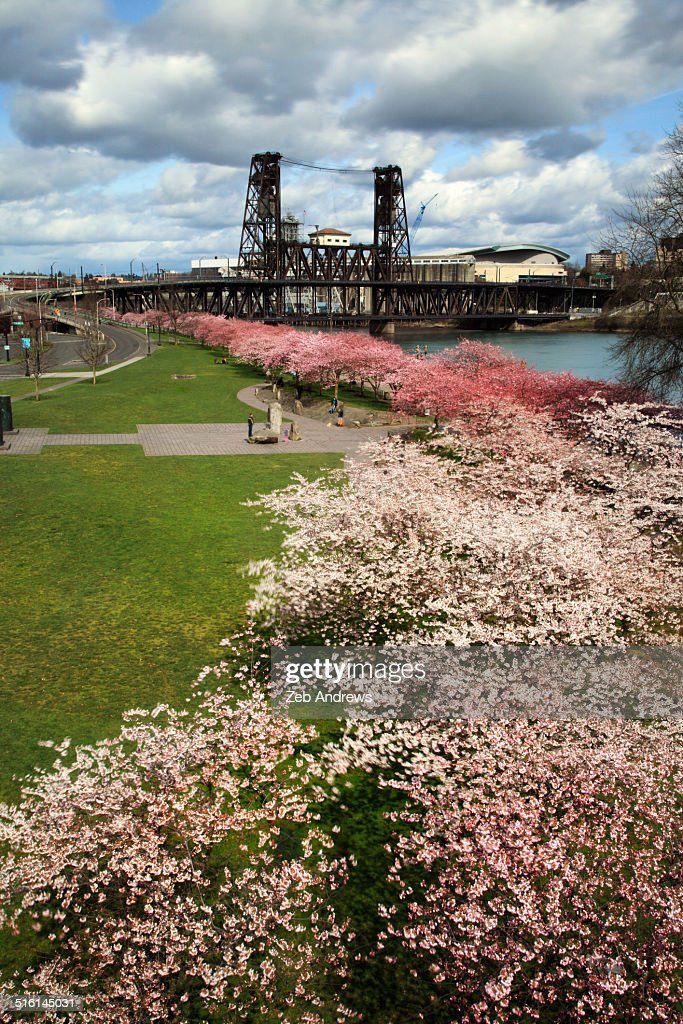 Spring cherry blossoms and the steel bridge