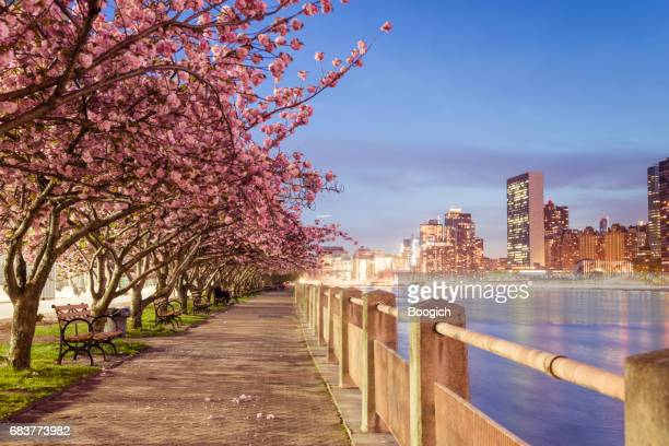 NYC Spring Cherry Blossoms on Roosevelt Island Manhattan View Dusk