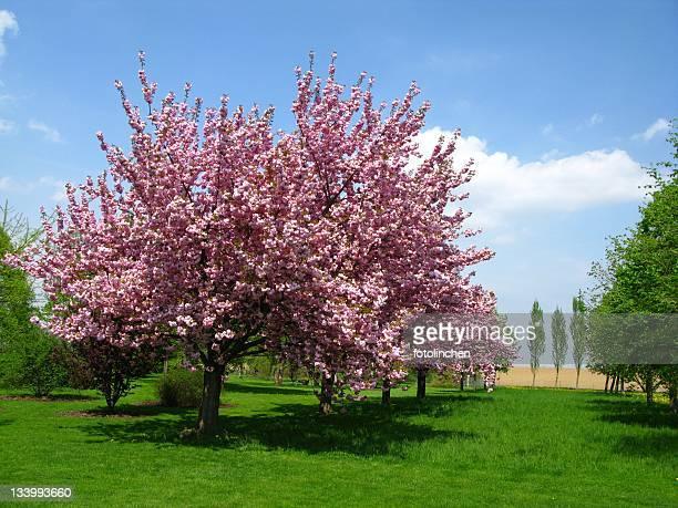 Fleurs de cerisier printanières