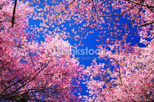 spring cherry blossoms with blue sky background stock photo thinkstock. Black Bedroom Furniture Sets. Home Design Ideas
