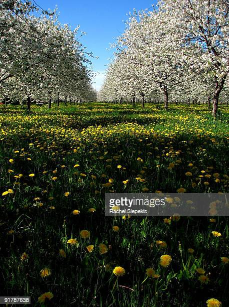 Spring cherry orchard row in bloom