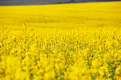 Spring colza fields. Blooming yellow flowers