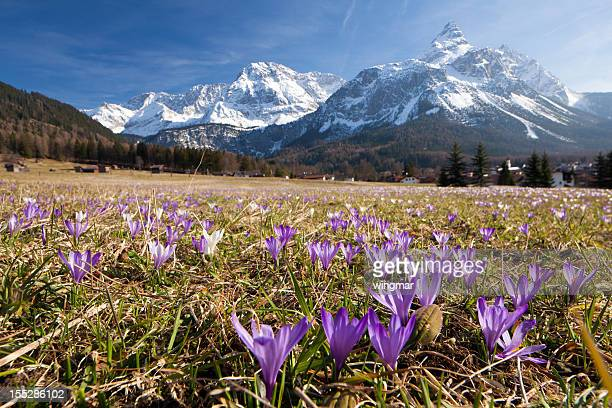 spring crocus meadow in the alps, tirol - austria