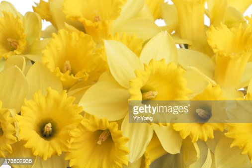 Spring Daffodils Bouquet of Yellow Flowers, Close-up