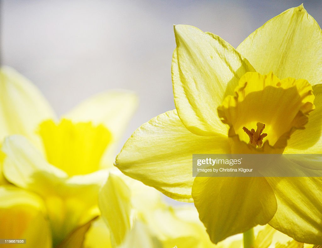 Spring Daffodils : Stock Photo
