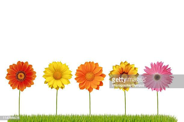 Spring daisies lined up in a row on grass