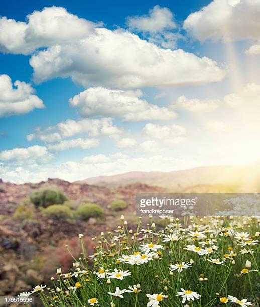 Champ de printemps-daisy à la saison estivale