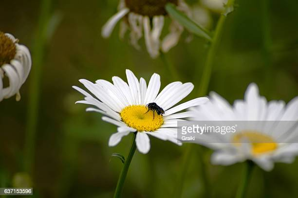 Spring daisy flower and bee