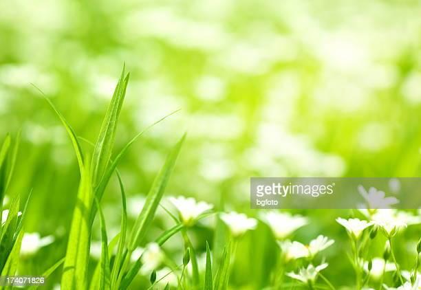 Margherite di primavera
