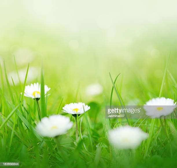 Marguerites du printemps