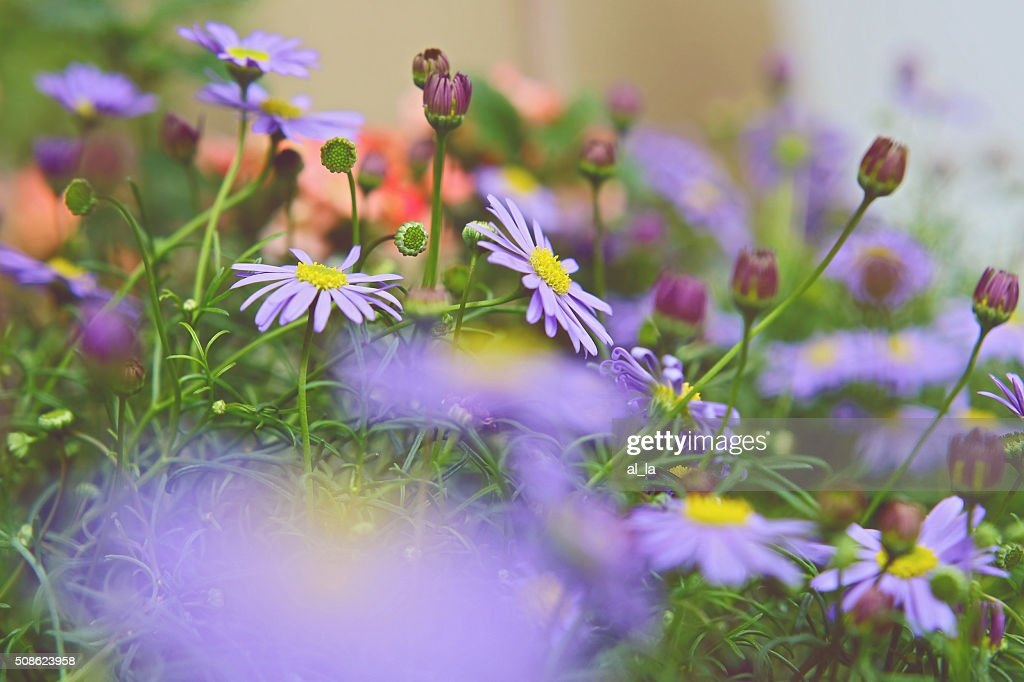 Spring field of white fresh daisies, natural landscape : Stock Photo