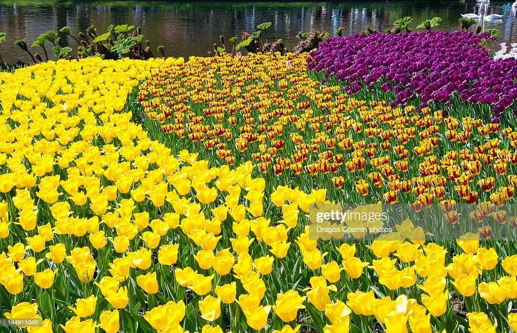 Spring flower bed in Keukenhof gardens : Stock Photo